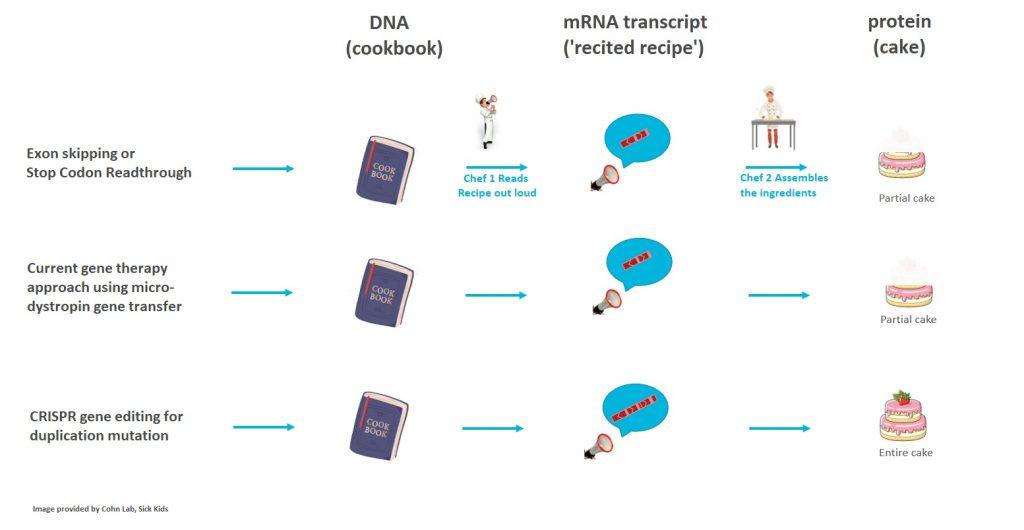 CRISPR for duplications